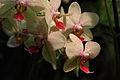 Orchidee (4138701881) (2).jpg