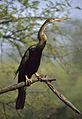 Oriental Darter (Anhinga melanogaster) (20061255733).jpg
