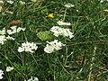 Orlaya grandiflora1.jpg