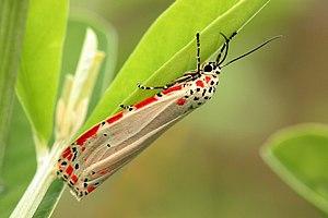 Utetheisa ornatrix - in Tobago