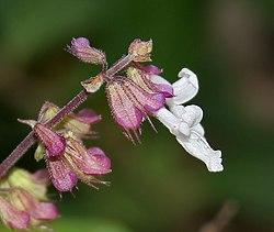 Orthosiphon pallidus (Jyoti) in Talakona forest, AP W IMG 8284.jpg