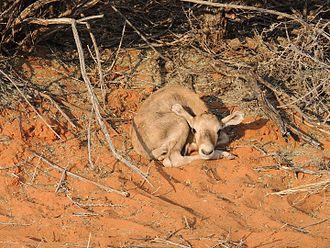 Gemsbok - A three-day-old gemsbok fawn