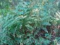 Osmunda spectabilis.jpg