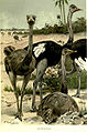 OstrichesLyd.jpg