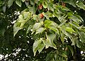 Ostrya-carpinifolia.JPG