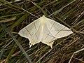 Ourapteryx sambucaria (28121121547).jpg