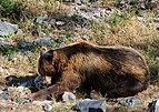 Ours brun DSCF5908 Profil mangeant.jpg