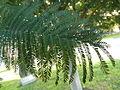P1120493 folla mimosa Tarrío Culleredo.JPG