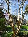 P1320122 Angers arboretum GA Lilas des Indes rwk.jpg