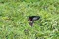 Pachliopta aristolochiae2130.jpg