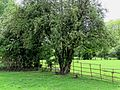 Paddock fence and hawthorn at Hatfield Broad Oak Essex England.jpg