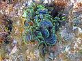Padina boergesenii (leafy rolled-blade algae Bahamas.jpg