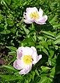Paeonia lactiflora (Paeoniaceae) (34988588263).jpg