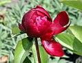 Paeonia lactiflora Buckeye Belle 0zz.jpg