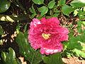 Paeonia lactiflora double01.jpg