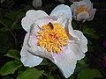 Paeonia mascula ssp. triternata 2016-05-09 9708.jpg