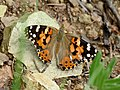Painted Lady (36855150900).jpg