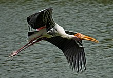 Painted Stork @ Vedanthangal Jan 2014.jpg