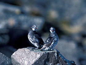 Pair of Least Auklets.jpg