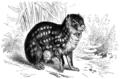 Paka (Coelogenys Paca).png