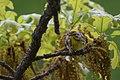 Palm Warbler (33920190390).jpg