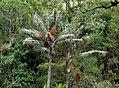 Palma de cerca del Quindío (Ceroxylon quindiuense) - Flickr - Alejandro Bayer (1).jpg