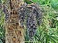 Palmier de Chine fruits Bergerac Mounet-Sully (3).jpg