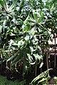 Pandanus pristis IMG 1652.jpg