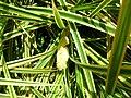 Pandanus pygmaeus.JPG