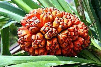 Pandanus tectorius - Image: Pandanus tectorius fruit (riped)