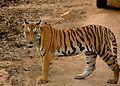 Panthera tigris at Pench.jpg