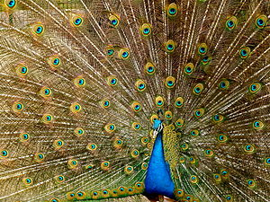 English: A Peafowl flaring his feathers. Franç...