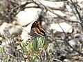 Papallona de l'arboç (Charaxes jasius) al Puig Francàs P1250463.jpg