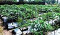 Papaya chilipepper poly Pj DSC 0857.jpg