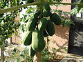 Papaya fruit.JPG