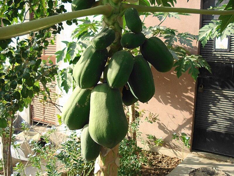 papaya_tree