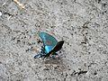 Papilio maackii on Rishiri Island3.jpg