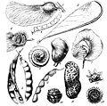 Papilionaceae seed pods—Handbuch der Systematischen Botanik (1924).jpg