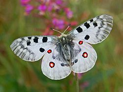 阿波羅絹蝶Parnassius apollo