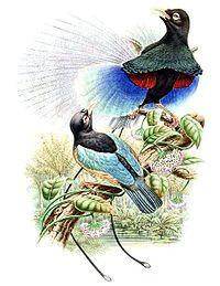 Paradisaea rudolphi by Bowdler Sharpe.jpg