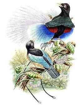 Paradisaea rudolphi by Bowdler Sharpe