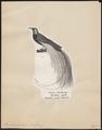 Paradisea apoda - 1809-1845 - Print - Iconographia Zoologica - Special Collections University of Amsterdam - UBA01 IZ15700111.tif