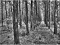 Parallel Forest in HDR - panoramio.jpg