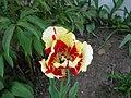 Parrot Tulip (9174908673).jpg
