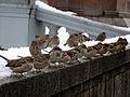 Passer domesticus -Moscow -flock-8.jpg