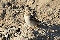 Passer domesticus - House Sparrow, Mersin 2016-12-11 02-1.jpg
