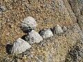 Patelles sur leur rocher.JPG