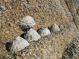 Patelles sur leur rocher
