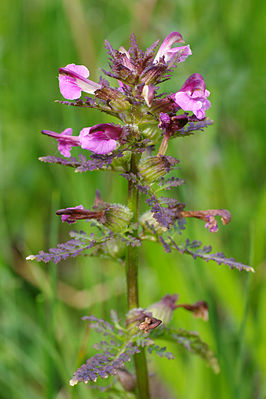PedicularisPalustris.jpg