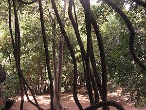 Amboni Caves - Image: Peering through the vines, Amboni Caves